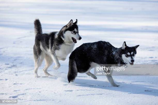 Huskies play in Green Park following a snow flurry on February 26 2018 in London England Freezing weather conditions dubbed the Beast from the East...