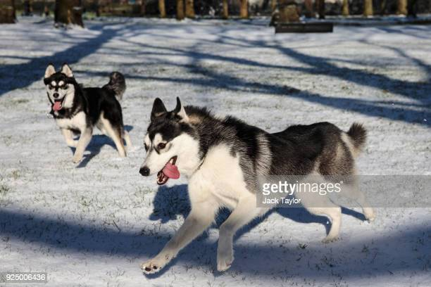 Huskies play in Green Park following a snow flurry on February 26 2018 in London United Kingdom Freezing weather conditions dubbed the Beast from the...