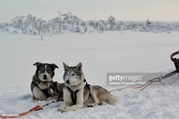Huskies resting on snow, Finland
