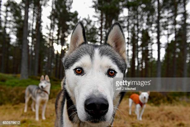 Huskies wait for practice at a forest course ahead of the Aviemore Sled Dog Rally on January 24 2016 in Feshiebridge Scotland Huskies and sledders...