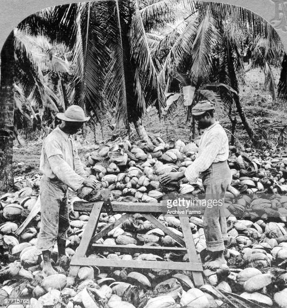 Husking Coconuts Jamaica
