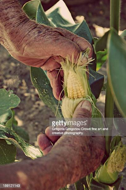 husking corn - gregoria gregoriou crowe fine art and creative photography stock pictures, royalty-free photos & images