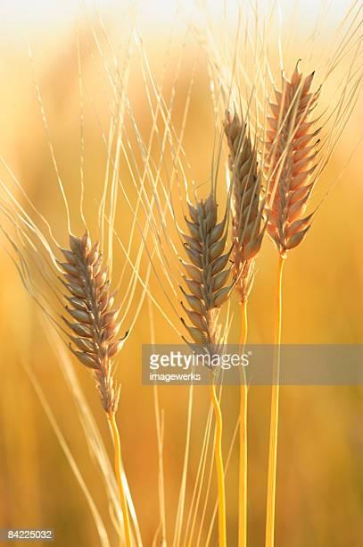 Husks of wheat, close-up