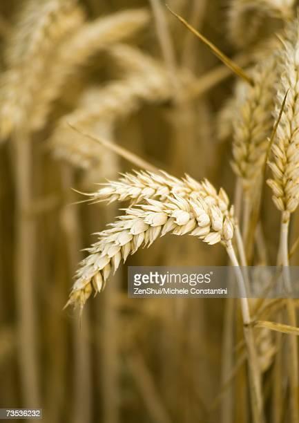 Husks of wheat