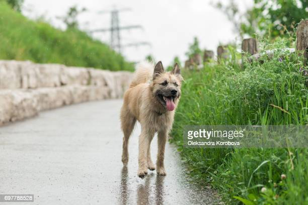 Husky and Irish Wolfhound mix dog running down a path while on a walk in the park. Young mutt has a gleeful expression on his face.