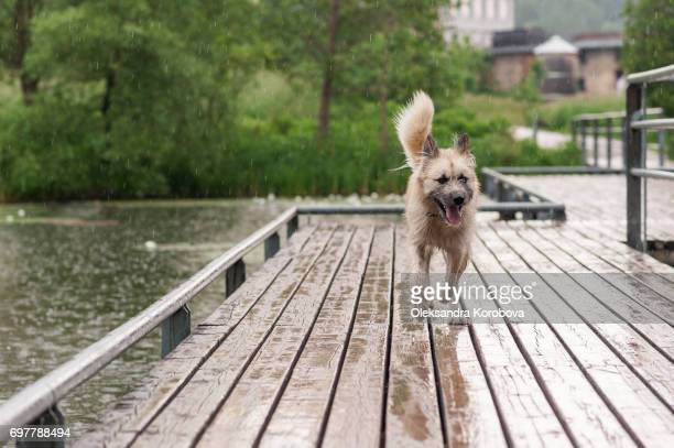 Husky and Irish Wolfhound mix dog running down the wooden dock while on a walk in the park. Young mutt has a gleeful expression on his face.