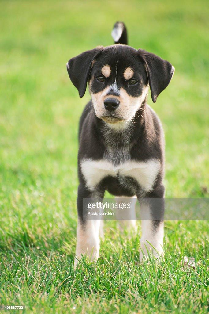 Blue Tick Hound Puppies
