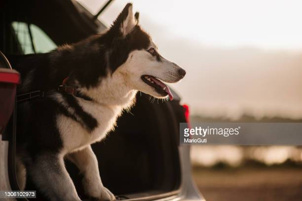 husky dog in a car trunk - boot stock pictures, royalty-free photos & images