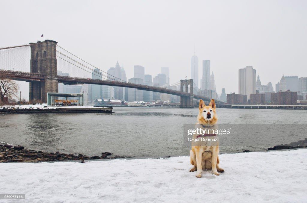 Husky Dog In New York : Stock Photo