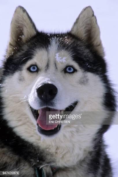 Husky dog Quebec Canada