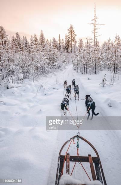 husky dog sledding in lapland, finland - cão de puxar trenó imagens e fotografias de stock