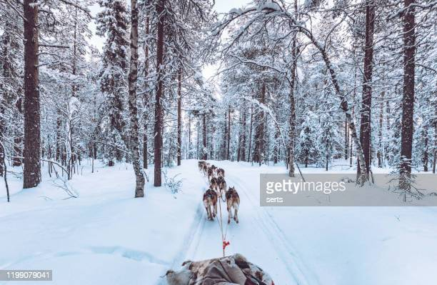 husky dog sledding in lapland, finland - finland stock pictures, royalty-free photos & images