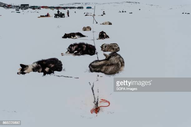 BAY INUKJUAK NUNAVIK QUEBEC CANADA Husky dogs are seen resting in the cold dry snow after the race Since 2001 Ivakkak has been an event which honors...