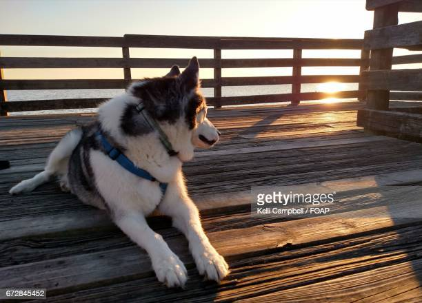 husky enjoying the sunset - kelli campbell stock pictures, royalty-free photos & images