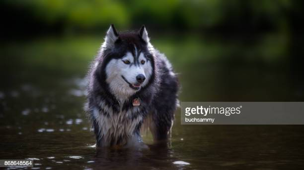husky im wasser - wasser stock pictures, royalty-free photos & images