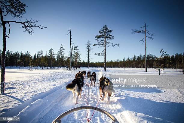 Husky in Lapland, Rovaniemi, Finland