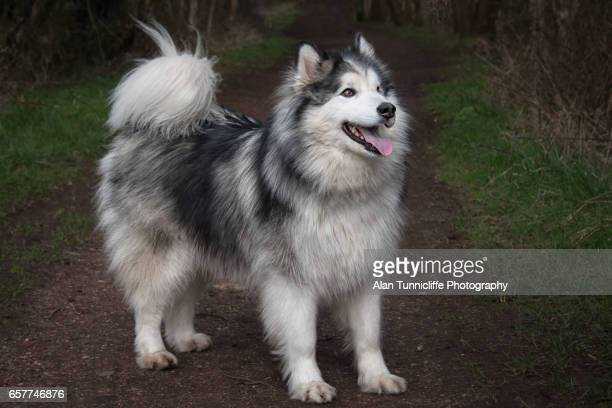 husky malamute - malamute stock pictures, royalty-free photos & images