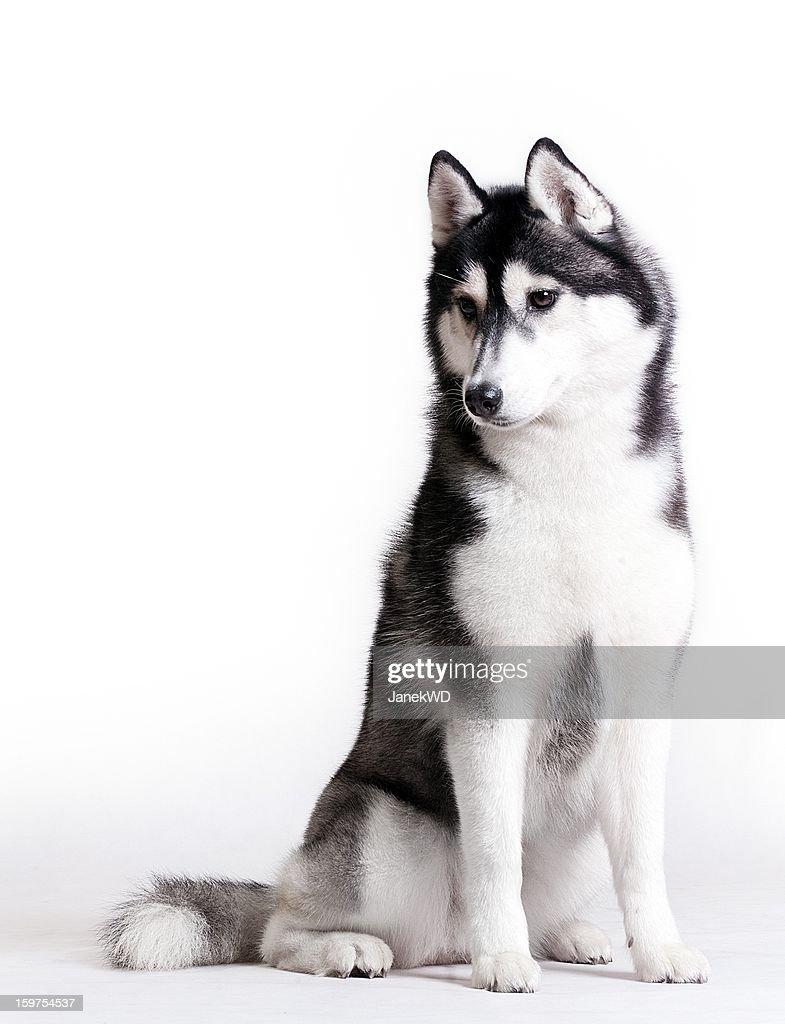 Husky on white : Stock Photo