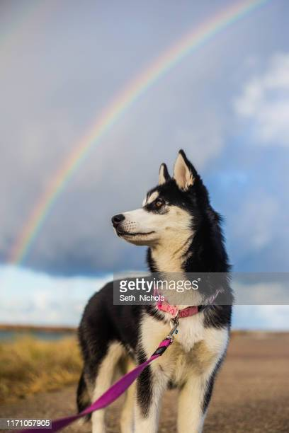 husky - husky dog stock pictures, royalty-free photos & images