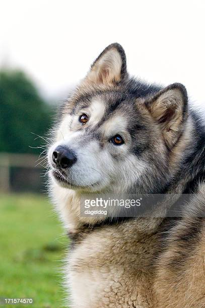 husky - tilt stock pictures, royalty-free photos & images
