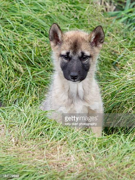 husky pup - greenland - ilimanaq stock-fotos und bilder