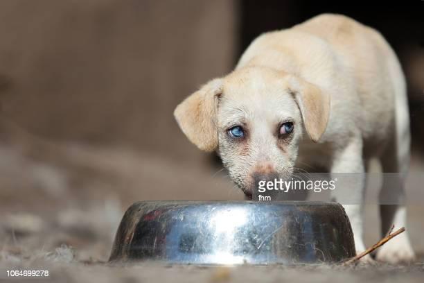 Husky puppy - eating