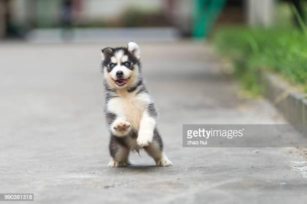 husky puppy looking at camera - cão de puxar trenó imagens e fotografias de stock