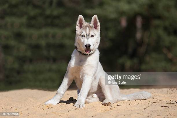 Husky puppy sitting