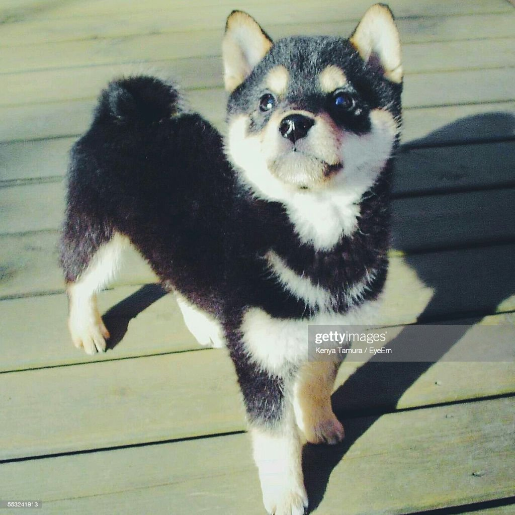 Husky Puppy Standing Outdoors : Stock Photo