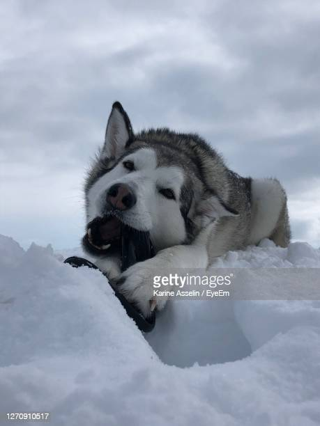 husky relaxing on snow covered landscape - karine asselin stock pictures, royalty-free photos & images