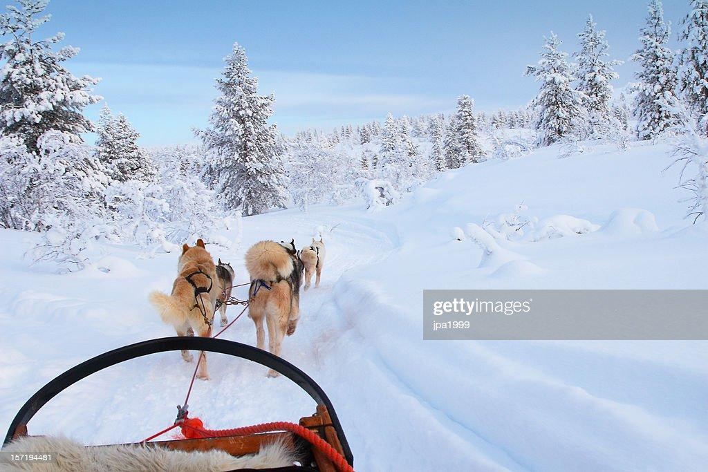 Husky ride : Stock Photo