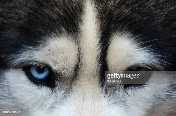 husky 's eyes france - var stock pictures, royalty-free photos & images