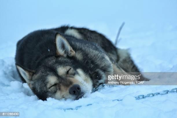 Husky sleeping in the snow