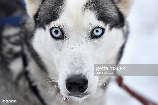 A husky waits for practice with its sledder at a forest course ahead of the Aviemore Sled Dog Rally on January 19 2016 in Feshiebridge Scotland...