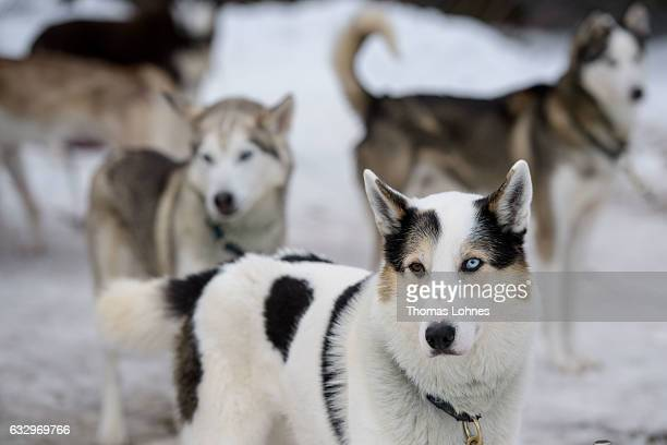 A husky with a braun and a blue eye pictured at the 2017 International Dog Sled Races on January 28 2017 in Todtmoos Germany Over 100 mushers are...