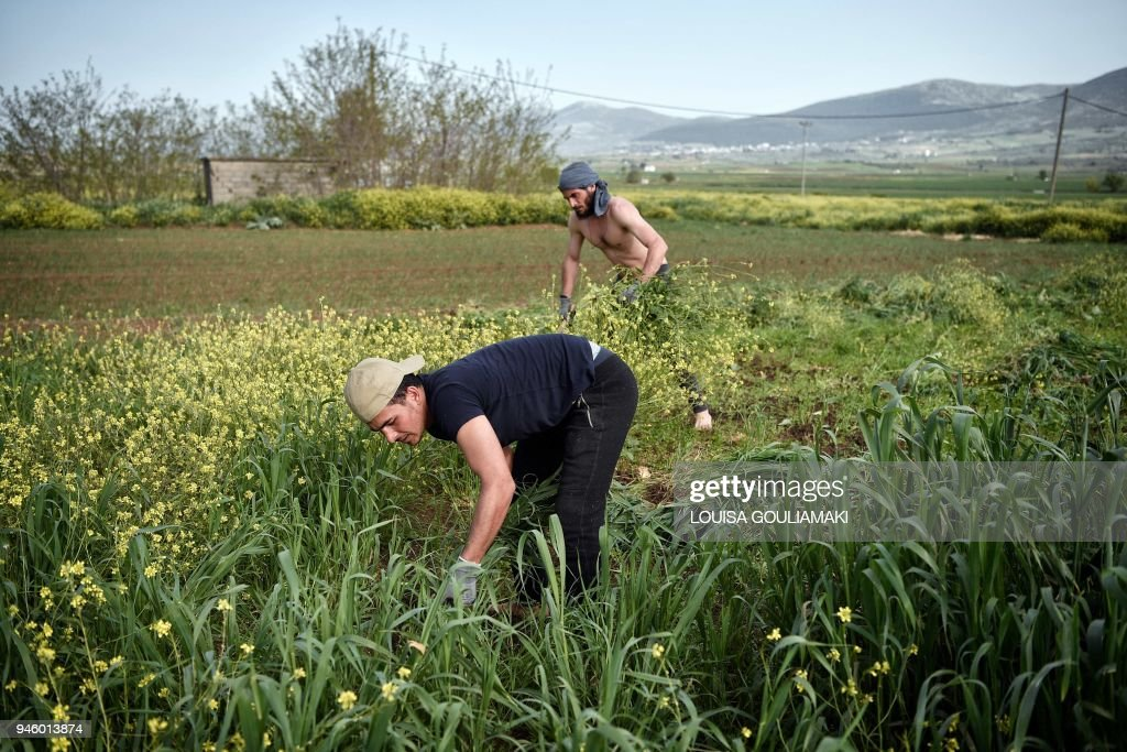 GREECE-MIGRANTS-FARM : News Photo