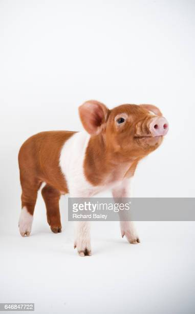 A Husum Red Pied piglet.