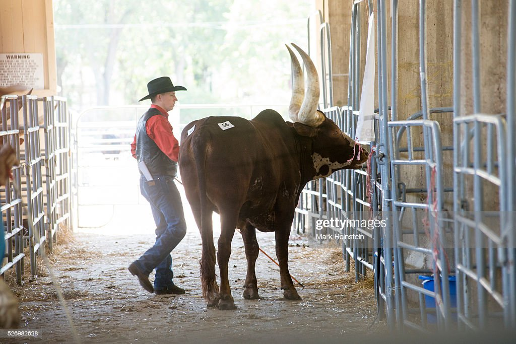 Ankole-Watusi Cattle at the Kansas State Fair. : Fotografía de noticias
