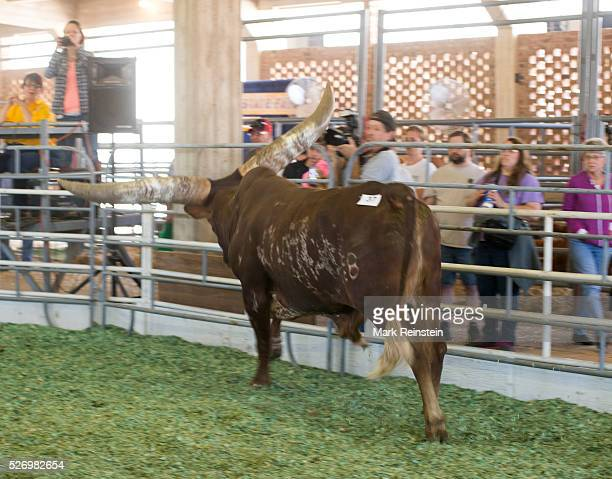 Hutchinson Kansas 9192015 The Watusi Beef Cattle Judging at the Kansas State Fair today in Huchinson The AnkoleWatusi also known as Ankole longhorn...