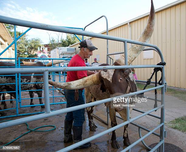 Hutchinson Kansas 9192015 Vernon Base of the Coon Creek Buffalo Ranch of Newton Kansas washes Kraratia a 5 year old AnkoleWatusi heifer prior to...