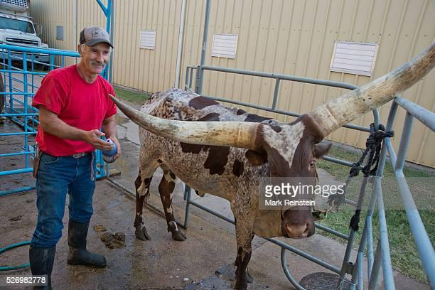 Hutchinson Kansas 9192015 Vernon Base of the Coon Creek Buffalo Ranch of Newton Kansas washes Kraratia a 5 year old AnkoleWatusi heifer prior to...