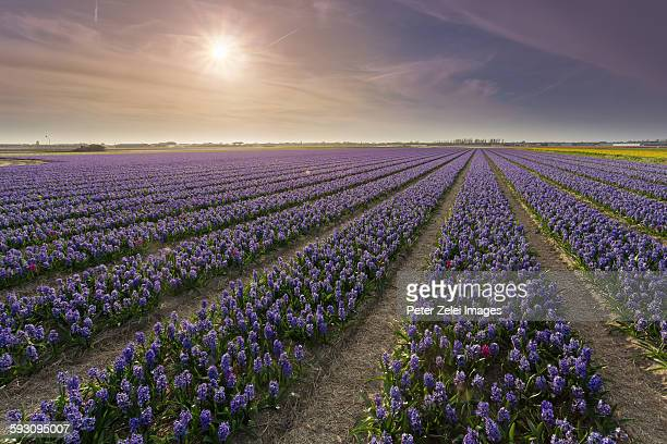 hyacint fields in the netherlands - navy blue stock pictures, royalty-free photos & images