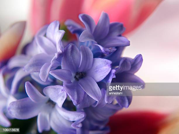 hyacinth and tulips - persian new year stock photos and pictures