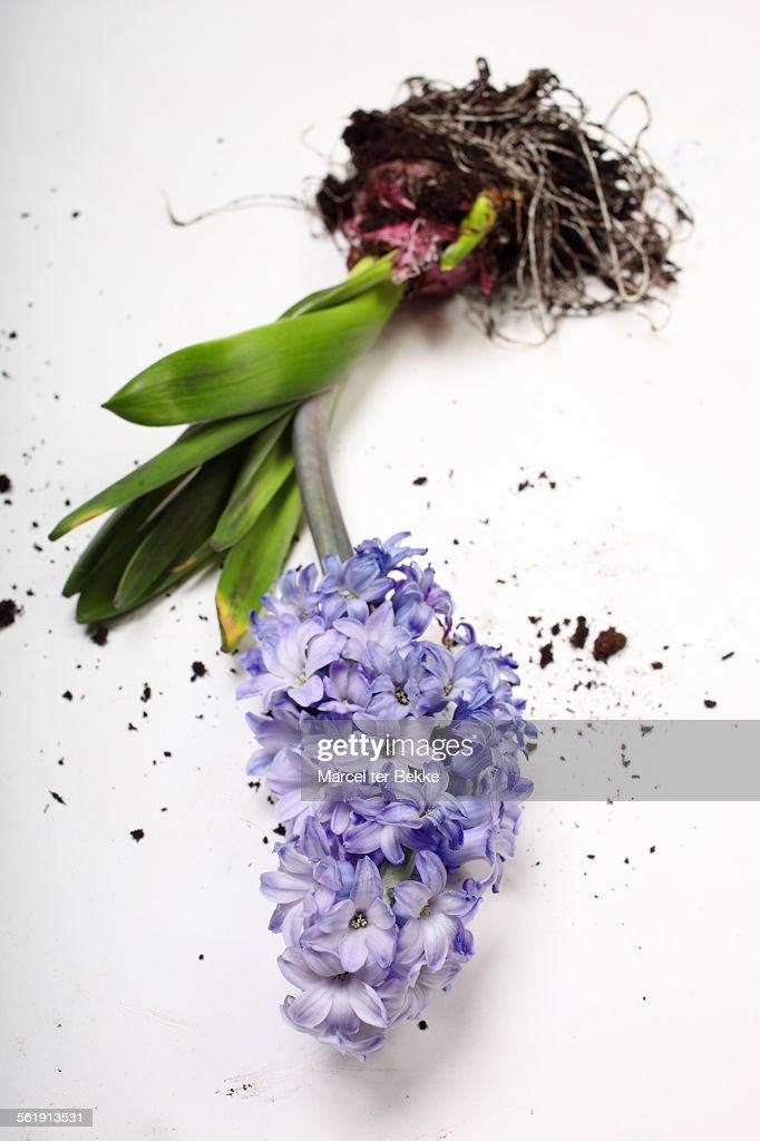 Hyacinth bulb & flower : Stock Photo