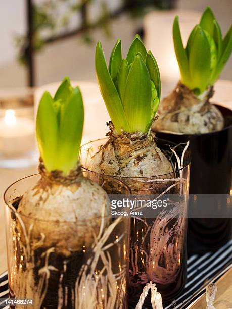 Hyacinth bulb in glasses, close-up