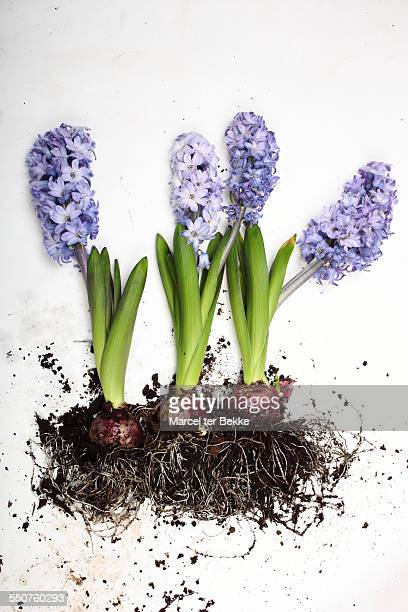 Hyacinth bulbs in bloom on a white table