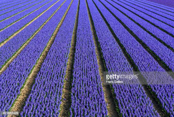 Hyacinth fields near the famous tourist attraction the Keukenhof.
