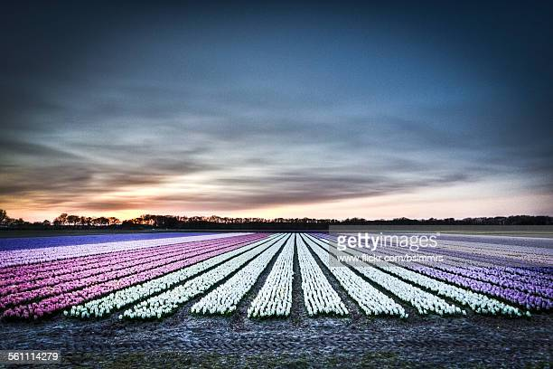 hyacinth fields - keukenhof gardens stock pictures, royalty-free photos & images