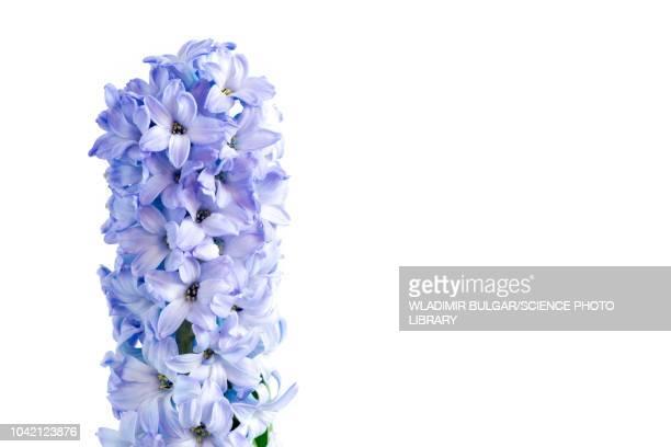 Hyacinth (Hyacinthus orientalis) flowers