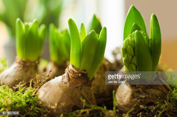 hyacinth (hyacinthus orientalis) growing from bulbs, nord, aruba, netherlands - hyacinth stock pictures, royalty-free photos & images